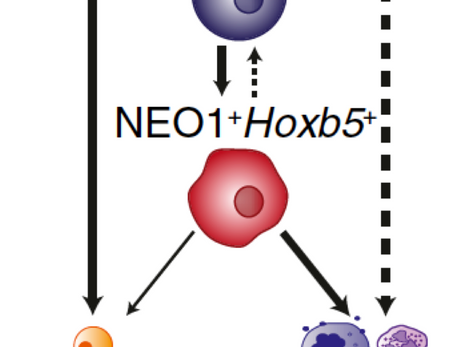 PNAS published our work about Neo-1 on HSCs