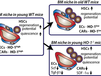 New paper for New Year! Our study in EMBO Reports shows HO-1 deficiency triggers exhaustion of HSCs