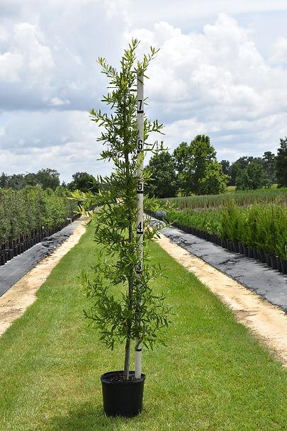 Willow Oak 7.JPG