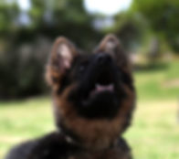Young GSD learning Focus_
