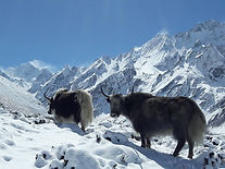 yaks.jpg