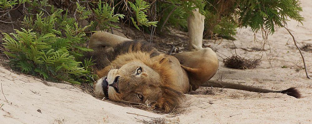 Lion-Resting.jpg