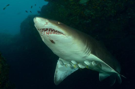 scubaaddicts-sharkdiving-001.jpg