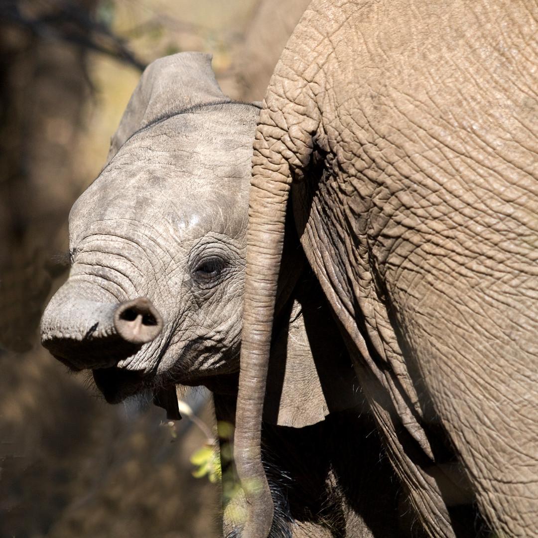 Elefantenbaby mit Papas Hintern.jpg