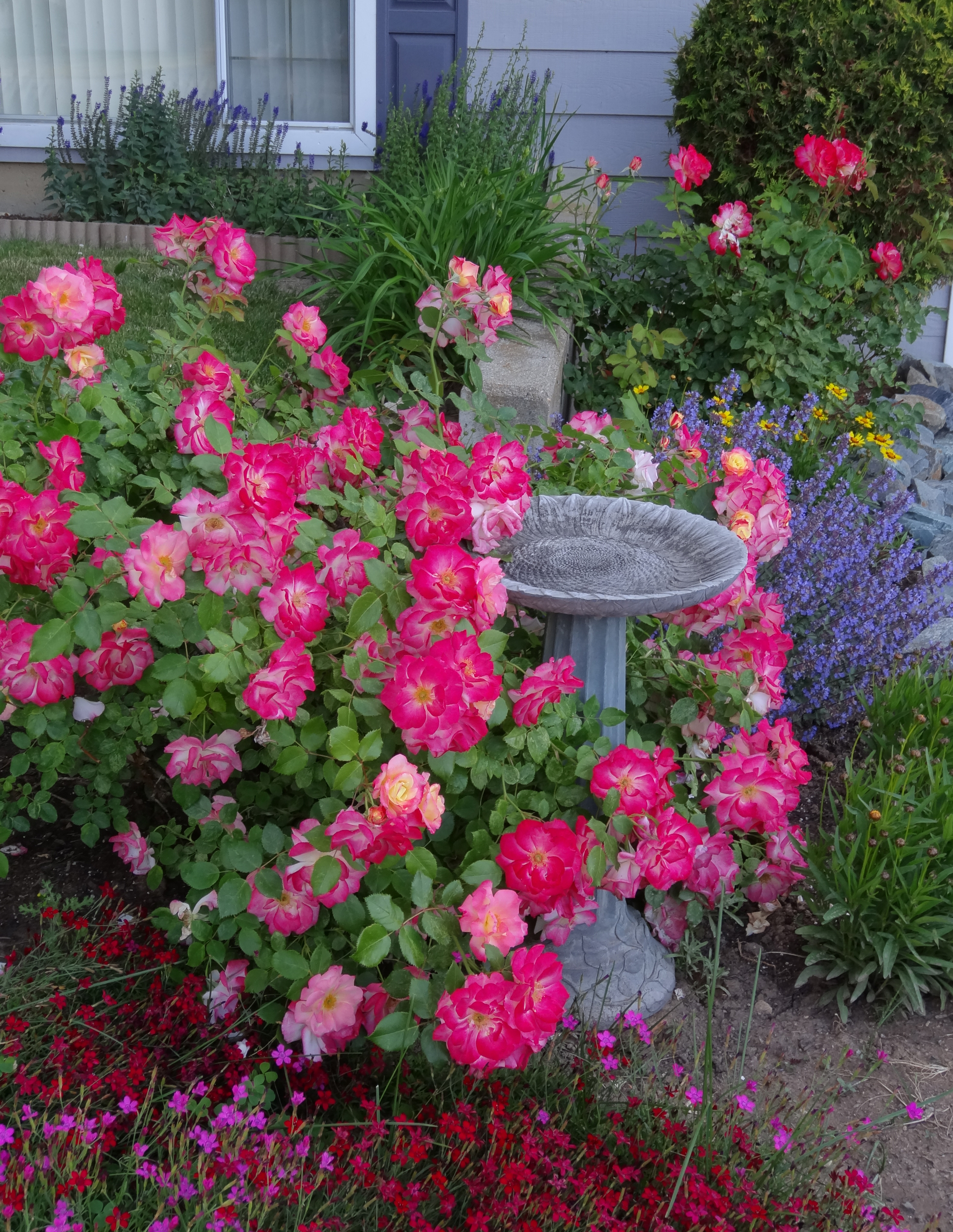 rosebushFB