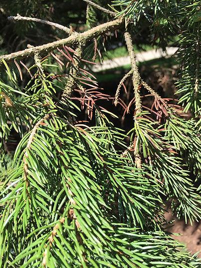 Rhizosphaera-Needle-Cast-01.jpg