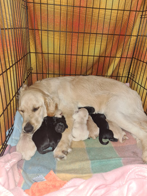 golden retriever x labrador puppies for sale