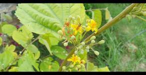 """""""Phalsa"""" – A High value underutilised minor fruit"""