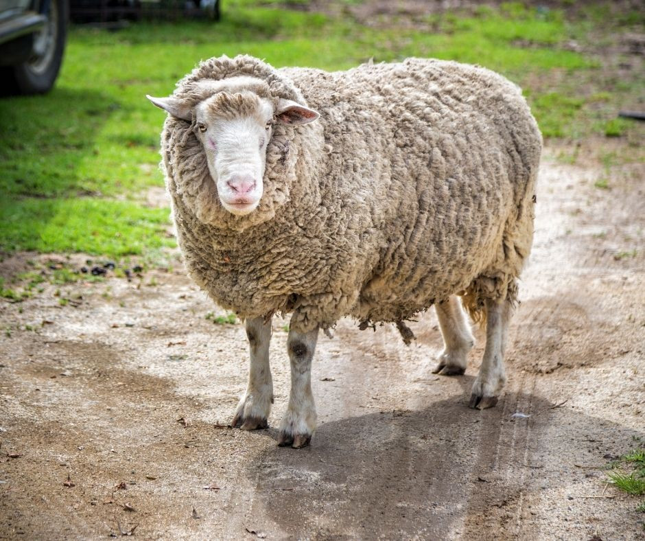 Wool is a natural option for luxury carpet