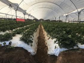 Cultivo de Fresa