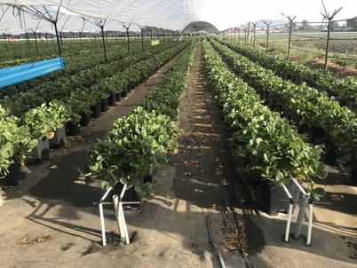 Cultivo de Fresa (Hidroponia)