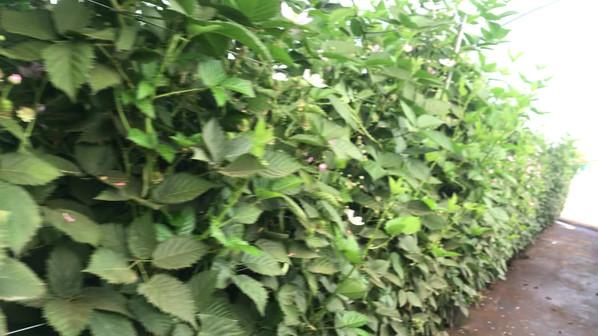 Cultivo Zarzamora