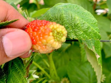 Incrementa el valor comercial de tu cultivo a través de un servicio profesional de polinización.