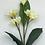 Thumbnail: Frangipani Spray X 4/Cream Red/Cream Yellow/100 cm H