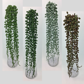 Succulent String of Pearls Vine