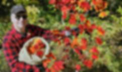 image_NIKO_harvestredmaple_20191008.png