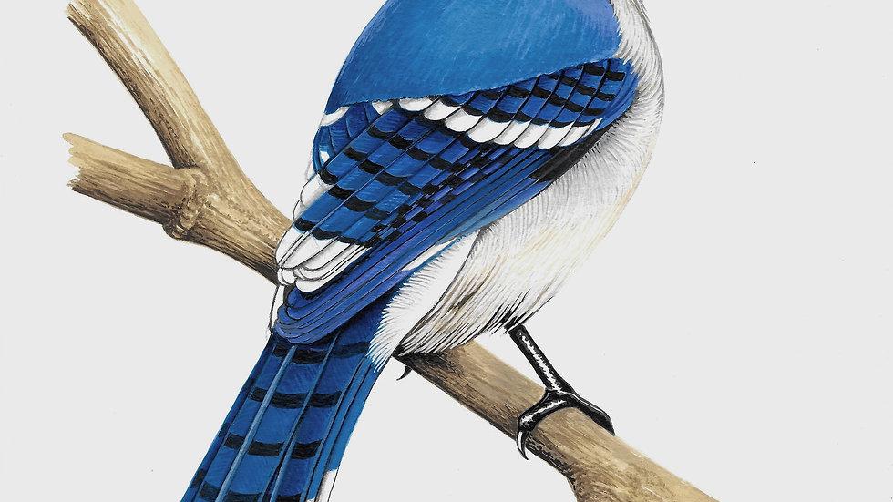 Bluejay