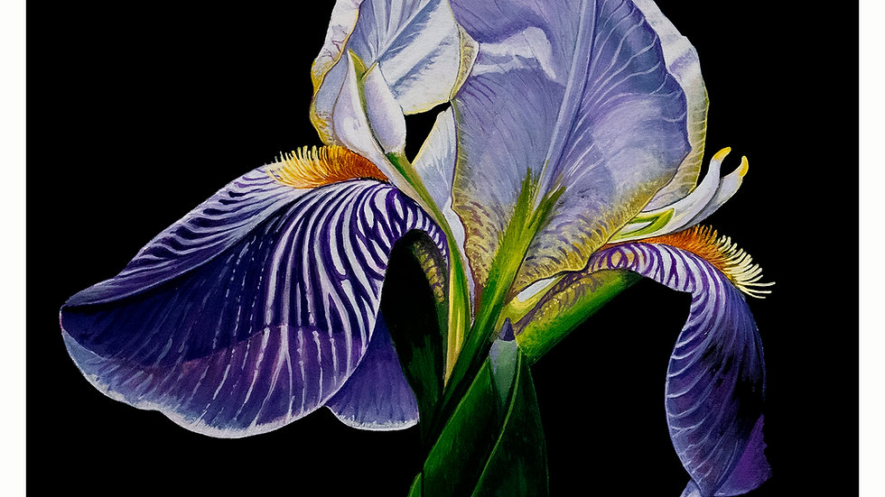 Iris on black 8x10
