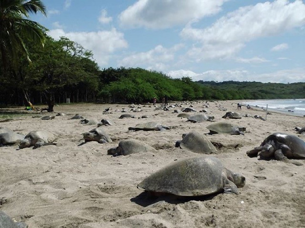 Olive Ridely Sea Turtles Nesting in Nicaragua