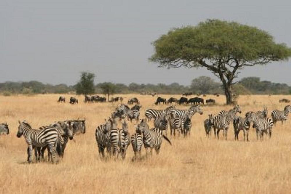 Zebras on Tanzania Family Adventure