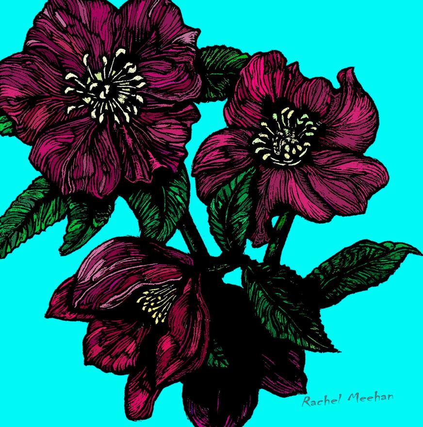 Hellebore or Christmas Rose