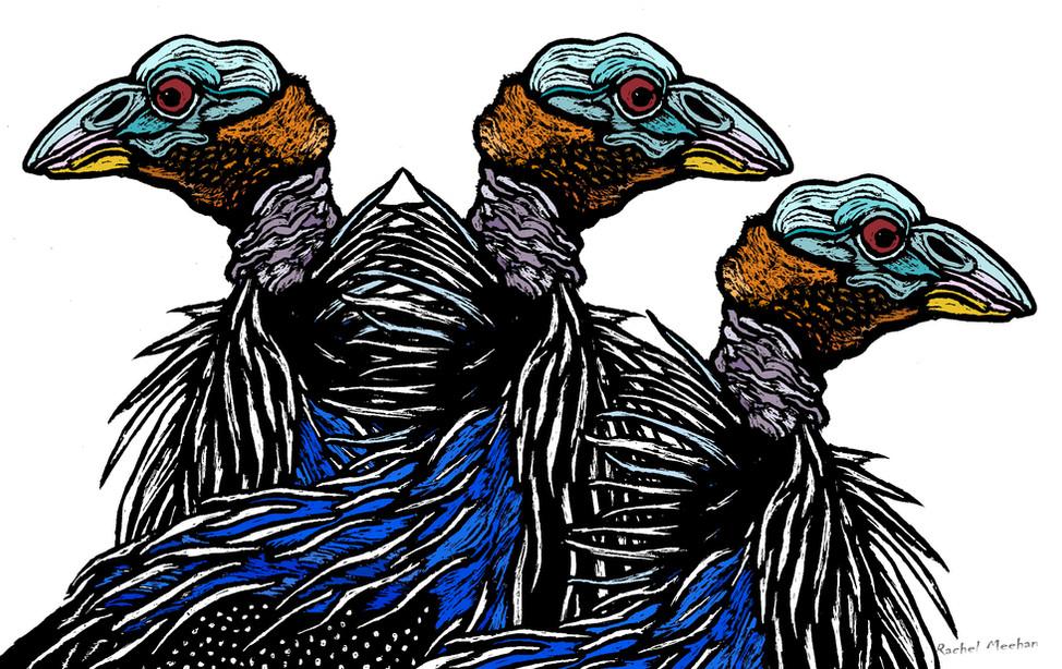 Vulturine Guineafowl - Trio