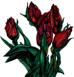 Tulips on white