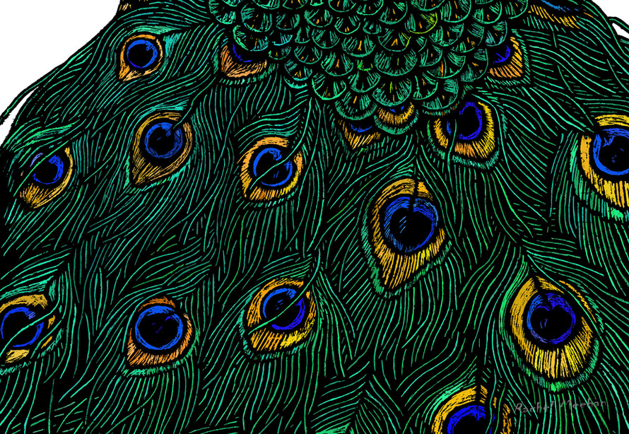Peacock - Tail Feathers