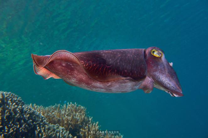 cuttlefish curiosity