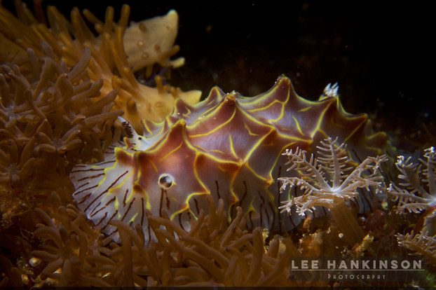 Halgerda nudibranch