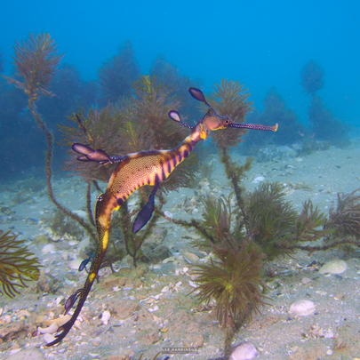 Weedy sea dragon on of Australia