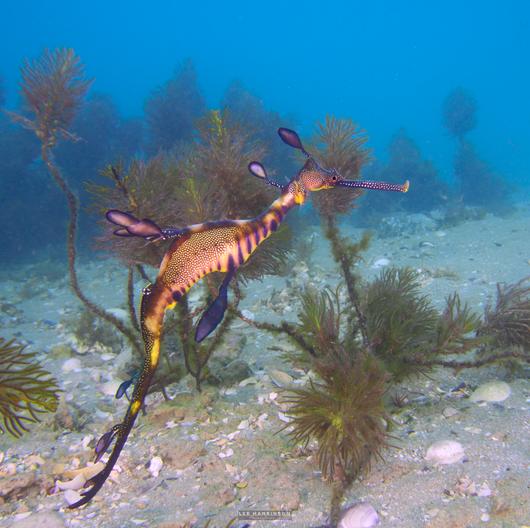 Weedy sea dragon on of Australia