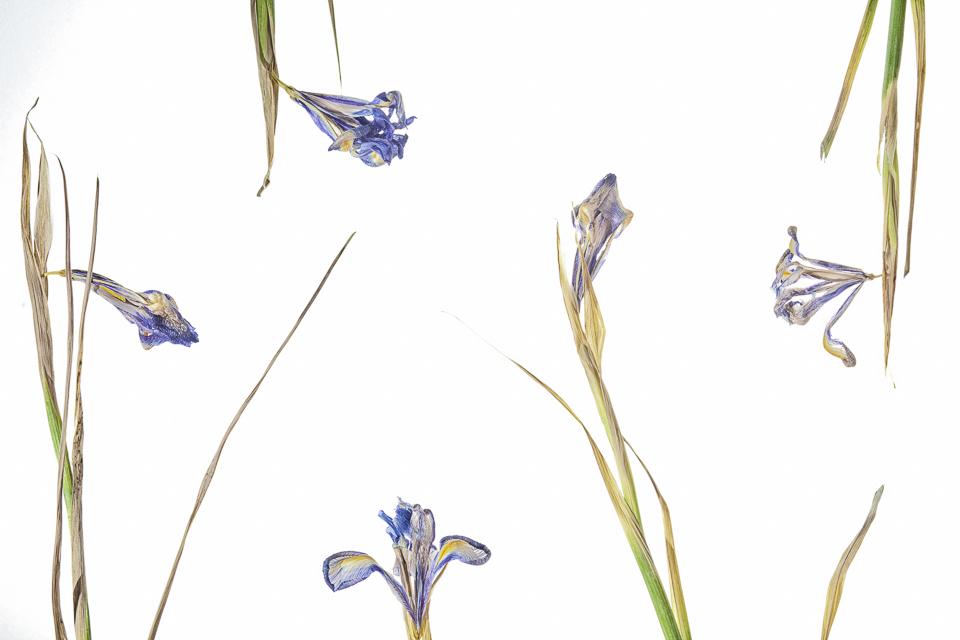 Hyacintus Plural
