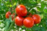 Tomatoes on the vine.jpeg