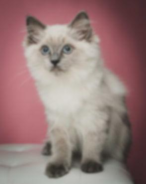 Wil jij een fotoshoot met je kat boeken? Kattenfotografie is een vak apart, maar bij Studio86 kan je hier terecht voor het beste resultaat! Op deze foto zie je een ragdoll kitten die gefotografeerd is op een roze achtergrond. Ze zit op een wit krukje. Deze fotografe is gespecialiseerd in kattenfotografie.