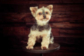 Deze Yorkshire terrier zit op een kruk voor een houten wand. Dit lieve hondje is gefotografeerd door bekende dierenfotograaf Nikki in haar fotostudio. Wil jij ook een hondenshoot boeken? Zelfs op zondag kan jij deze fotoshoot van jouw hond boeken!