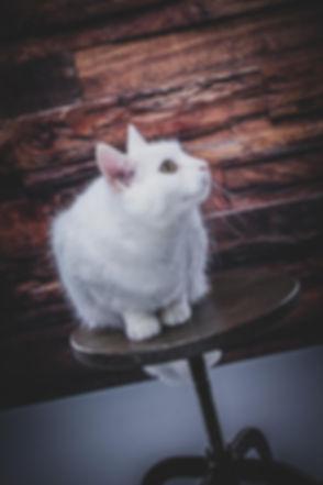 Deze witte kat zit op een hoge kruk voor een houten wand en is gefotografeerd door dierenfotograaf Nikki Hoff van Studio86. Nikki is gespecialiseerd in dierenfotografie en heeft de meest bekende dieren fotostudio van Nederland.