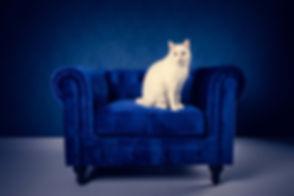 Ben jij opzoek naar een goede fotografe die jouw kat mooi kan fotograferen? Nikki is o.a. een kattenfotograaf en heeft verschillende settings, zoals deze blauwe chesterfield bank voor een blauwe muur. Voor ieder huisdier is er een geschikte achtergrond aanwezig!