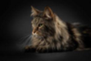 Deze kattenfoto is gemaakt tijdens een dierenfotoshoot in de studio. De prijs van deze fotoshoot is €150,- waarbij je 6 digitale foto's ontvangt. Professional cat photograph made by famous animal photographer Nikki.