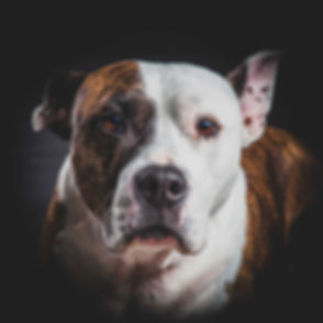 Voor een mooie portretfoto van jouw hond ga je naar dierenfotograaf Nikki Hoff. In haar fotostudio maakt ze mooie portretten van jou en jouw huisdier. Dog looks into camera. Made by a professional dog photographer in Holland.