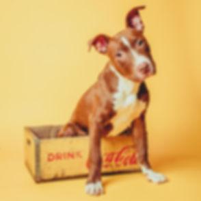 Deze puppy zit in een coca cola kratje tijdens een retro fotoshoot. Uniek in Nederland en alleen te boeken in Alphen aan den Rijn! Puppy sitting in a coca cola crate on a yellow background. Made by a professional pet photographer.