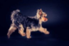 Een rennende yorkshire terrier gefotografeerd tijdens een dierenshoot in de fotostudio van bekende fotograaf Nikki Hoff. Een fotosessie van jouw hond zal ongeveer 45 minuten duren. Deze fotoshoot is ook te boeken op een zondag.