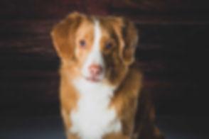 Deze schattige Nova Scotia Duck Tolling Retriever is gefotografeerd door bekende dierenfotograaf Nikki Hoff in haar fotostudio. Wil jij deze hondenfotograaf boeken voor een fotosessie van jouw hond? Boek dan nu via www.studio86.nl