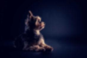 Deze Yorkshire terrier is gefotografeerd tijdens een hondenshoot door professionele dierenfotograaf Nikki Hoff. Wil jij ook een fotoshoot met jouw hond boeken? Ga dan naar www.studio86.nl