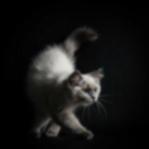 Deze Ragdoll kitten loopt op een zwarte setting in de fotostudio. Voor professionele kattenfotografie ga je naar bekende fotograaf Nikki Hoff. Zij maakt prachtige foto's van katten en andere huisdieren. Boek daarom jouw dieren fotoshoot bij Studio86 voor het beste resultaat.