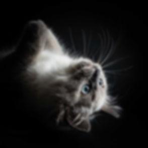 Hier zie je een professionele kattenfoto gemaakt door dierenfotograaf Nikki Hoff van Studio86. Een ragdoll kitten ligt hier op haar rug op een zwarte achtergrond. Wil jij ook een fotoshoot met je kat boeken? Ga dan naar Studio86, de beste dierenfotograaf van Zuid Holland.