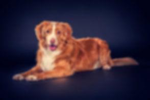 Deze blije Nova Scotia Duck Tolling Retriever is gefotografeerd door een hondenfotograaf in een fotostudio. Voor het boeken van een fotosessie van jouw hond ga je naar www.studio86.nl/dieren.