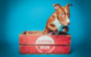 Voor huisdierenfotografie ga je naar Studio86! Deze hond is gefotografeerd in een amstel kratje met een blauwe achtergrond waardoor er een retro foto is ontstaan. Studio photography of a dog in a beer crate.