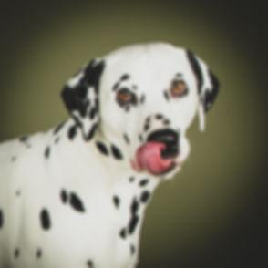 Voor een mooie en professionele portretfoto van jouw hond ga je naar fotostudio Studio86 in Zuid Holland. Een bekende en populaire dierenfotograaf in de regio. Een dalmatiër die net zijn tong uitsteekt. A Dalmatian that sticks out he's tongue. A professional photoshoot of your dog you can book at Studio86.