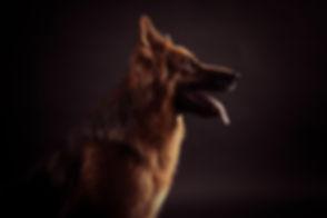 Professionele portretfoto van een Oud-Duitse Herdershond gemaakt door bekende dierenfotograaf Nikki Hoff. Wil jij ook een fotosessie van jouw hond boeken? Dit kan bij deze moderne fotostudio, Studio86 in Zuid Holland.